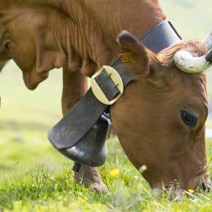 vache-samoens