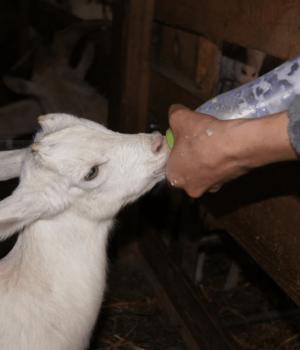 Chevreau a la ferme de l'entremont - samoens